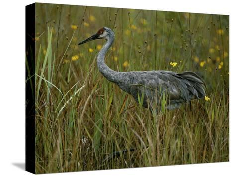 A Sandhill Crane Stands Amid Tall Grass and Wildflowers in Okefenokee Swamp-Randy Olson-Stretched Canvas Print