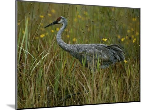 A Sandhill Crane Stands Amid Tall Grass and Wildflowers in Okefenokee Swamp-Randy Olson-Mounted Photographic Print