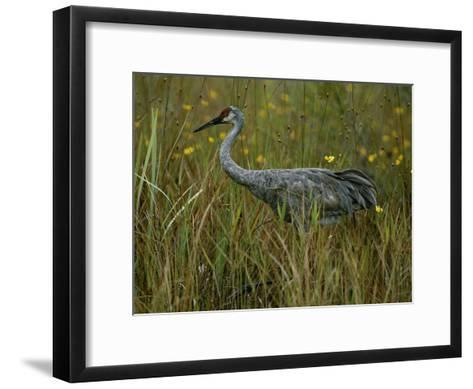 A Sandhill Crane Stands Amid Tall Grass and Wildflowers in Okefenokee Swamp-Randy Olson-Framed Art Print