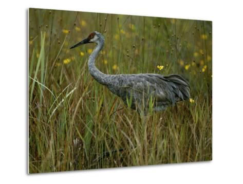 A Sandhill Crane Stands Amid Tall Grass and Wildflowers in Okefenokee Swamp-Randy Olson-Metal Print