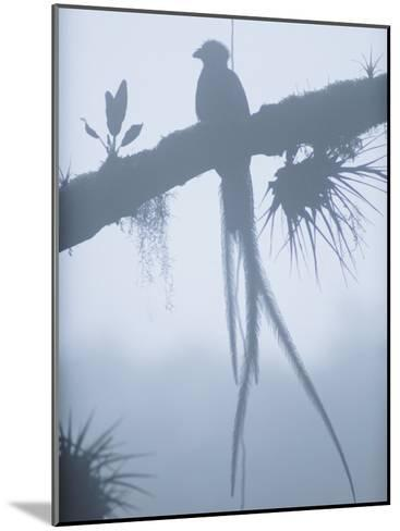 A Male Resplendent Quetzal is Silhouetted on Tree Branch Festooned with Air Plants-Steve Winter-Mounted Photographic Print