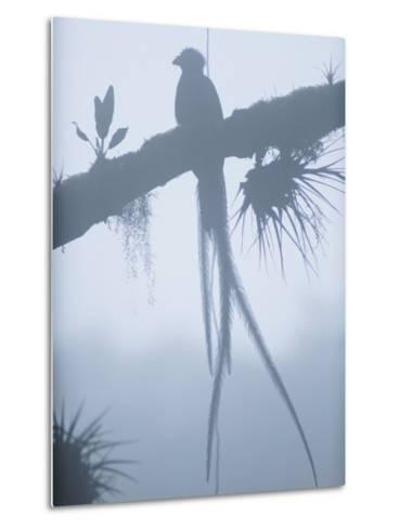 A Male Resplendent Quetzal is Silhouetted on Tree Branch Festooned with Air Plants-Steve Winter-Metal Print