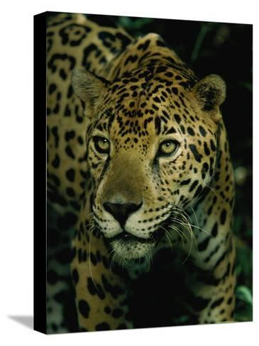 A Jaguar on the Prowl-Steve Winter-Stretched Canvas Print