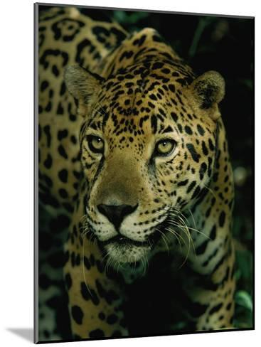 A Jaguar on the Prowl-Steve Winter-Mounted Photographic Print
