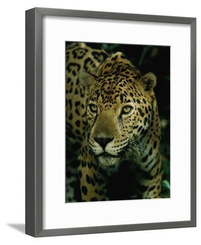 A Jaguar on the Prowl-Steve Winter-Framed Art Print