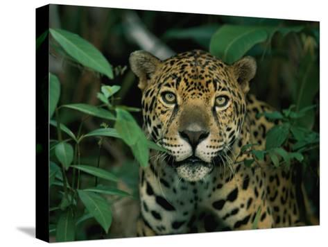 A Jaguar Looks into the Camera-Steve Winter-Stretched Canvas Print