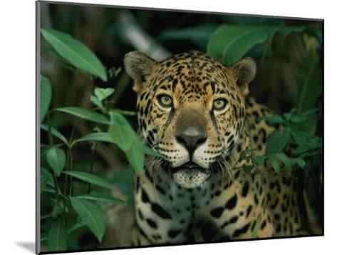 A Jaguar Looks into the Camera-Steve Winter-Mounted Photographic Print