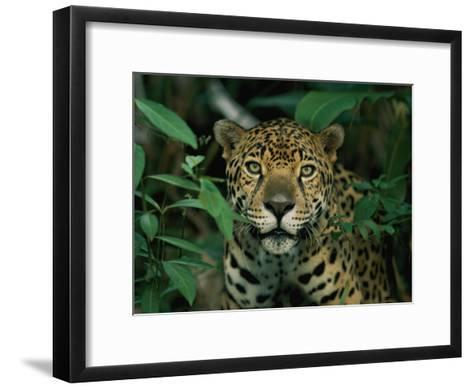 A Jaguar Looks into the Camera-Steve Winter-Framed Art Print