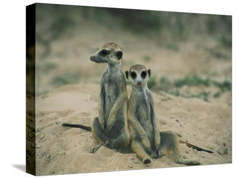 Meerkats Pose for the Camera-Nicole Duplaix-Stretched Canvas Print