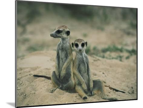 Meerkats Pose for the Camera-Nicole Duplaix-Mounted Photographic Print