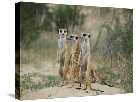 Three Meerkats-Nicole Duplaix-Stretched Canvas Print