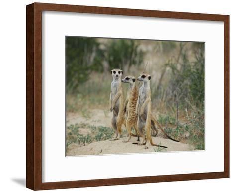Three Meerkats-Nicole Duplaix-Framed Art Print