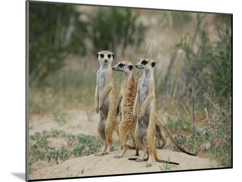 Three Meerkats-Nicole Duplaix-Mounted Photographic Print
