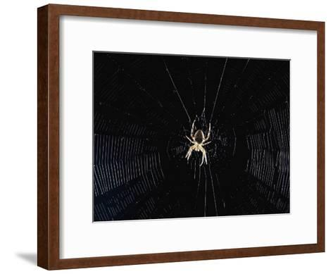 Argiope (Orb Weaver) Spider on an Intricately Woven Web-Paul Zahl-Framed Art Print