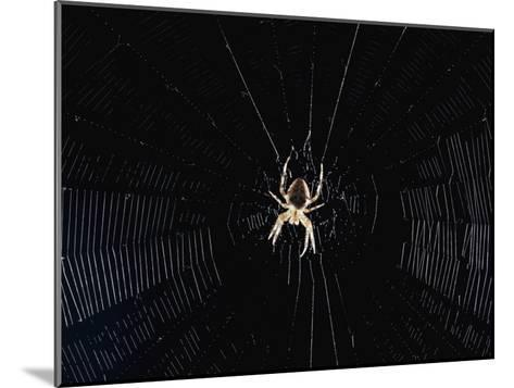 Argiope (Orb Weaver) Spider on an Intricately Woven Web-Paul Zahl-Mounted Photographic Print