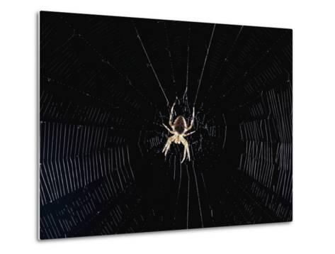 Argiope (Orb Weaver) Spider on an Intricately Woven Web-Paul Zahl-Metal Print