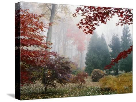 Several Japanese Maple Trees in the Fall-Darlyne A^ Murawski-Stretched Canvas Print