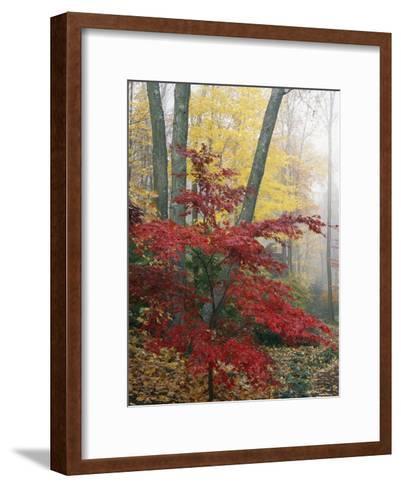 Japanese Maple Leaves in the Fall-Darlyne A^ Murawski-Framed Art Print