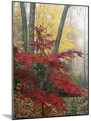Japanese Maple Leaves in the Fall-Darlyne A^ Murawski-Mounted Photographic Print