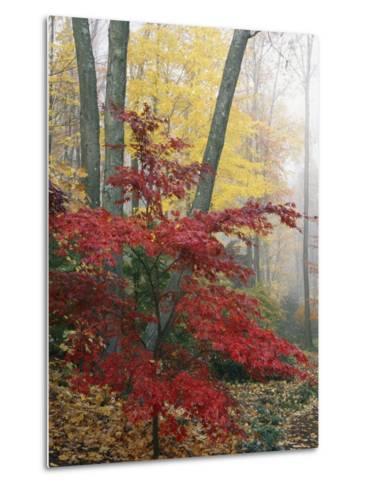 Japanese Maple Leaves in the Fall-Darlyne A^ Murawski-Metal Print