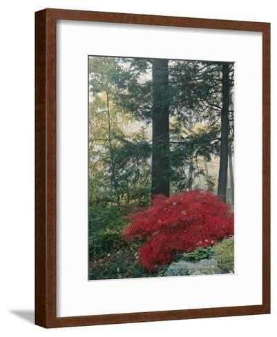 A Japanese Maple Tree-Darlyne A^ Murawski-Framed Art Print