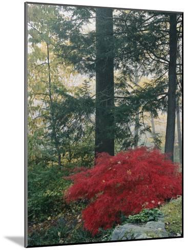 A Japanese Maple Tree-Darlyne A^ Murawski-Mounted Photographic Print