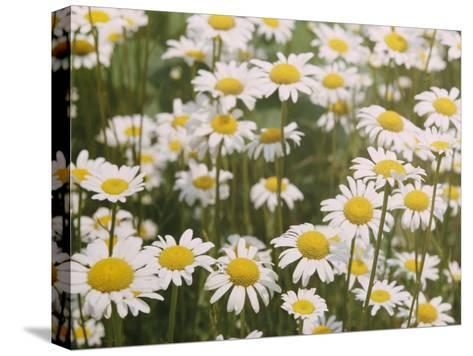 View of a Field of Daisies-Paul Zahl-Stretched Canvas Print