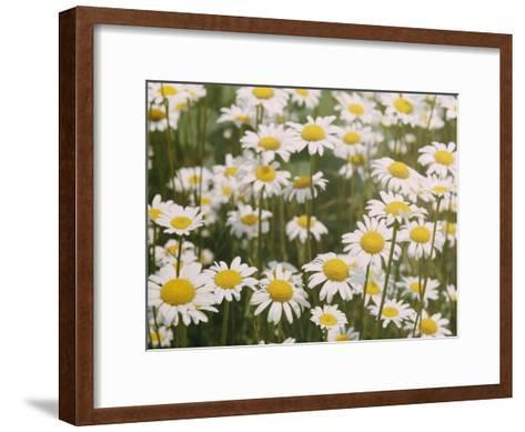 View of a Field of Daisies-Paul Zahl-Framed Art Print
