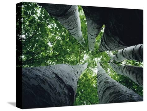 View Looking up the Trunk of a Sycamore Tree-Paul Zahl-Stretched Canvas Print