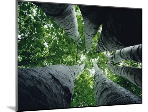 View Looking up the Trunk of a Sycamore Tree-Paul Zahl-Mounted Photographic Print