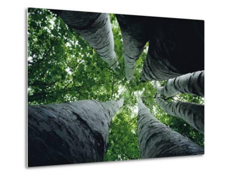 View Looking up the Trunk of a Sycamore Tree-Paul Zahl-Metal Print