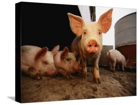 A Cute Pig Looks up His Snout at the Photographer-Joel Sartore-Stretched Canvas Print