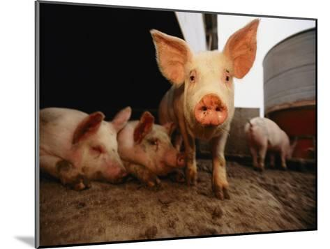 A Cute Pig Looks up His Snout at the Photographer-Joel Sartore-Mounted Photographic Print