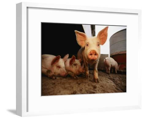 A Cute Pig Looks up His Snout at the Photographer-Joel Sartore-Framed Art Print