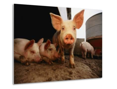 A Cute Pig Looks up His Snout at the Photographer-Joel Sartore-Metal Print