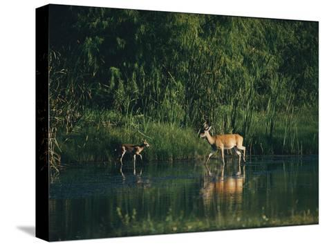 White-Tailed Deer Enjoy Year-Round Asylum at the Aransas Refuge in Coastal Texas-Farrell Grehan-Stretched Canvas Print