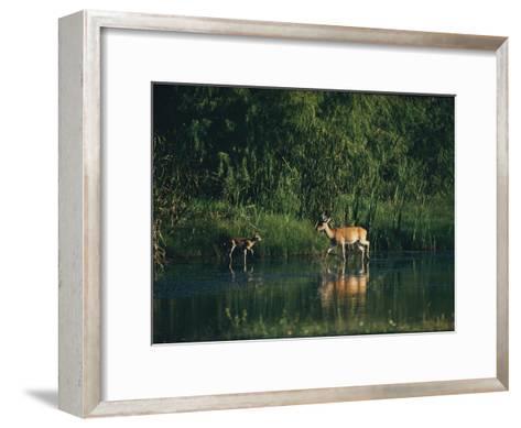 White-Tailed Deer Enjoy Year-Round Asylum at the Aransas Refuge in Coastal Texas-Farrell Grehan-Framed Art Print
