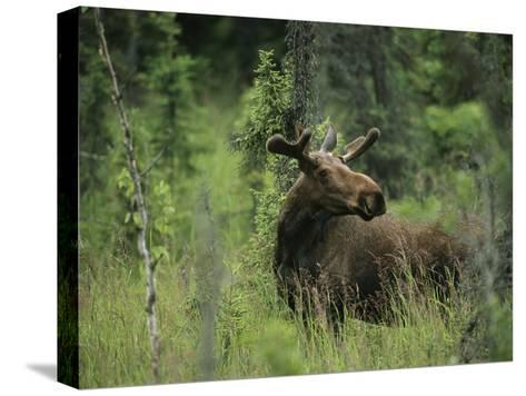 A Moose Stands in Tall Grass-Melissa Farlow-Stretched Canvas Print