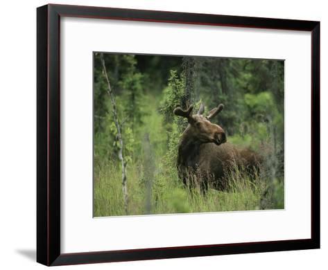 A Moose Stands in Tall Grass-Melissa Farlow-Framed Art Print
