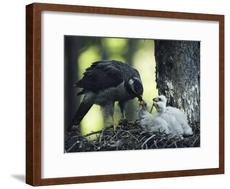 A Northern Goshawk Feeds its Scrawny White Chicks-Michael S^ Quinton-Framed Art Print