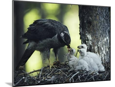 A Northern Goshawk Feeds its Scrawny White Chicks-Michael S^ Quinton-Mounted Photographic Print