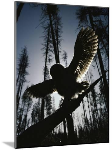 A Great Gray Owl, Five or Six Weeks Old, Spreads His Wings Wide-Michael S^ Quinton-Mounted Photographic Print