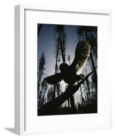 A Great Gray Owl, Five or Six Weeks Old, Spreads His Wings Wide-Michael S^ Quinton-Framed Art Print