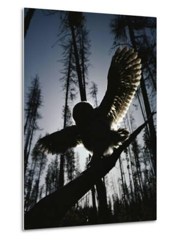 A Great Gray Owl, Five or Six Weeks Old, Spreads His Wings Wide-Michael S^ Quinton-Metal Print