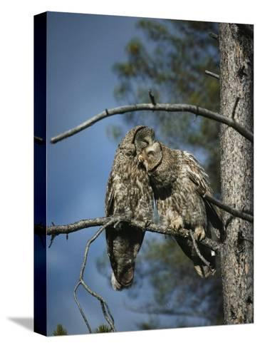 A Pair of Great Gray Owls Preening-Michael S^ Quinton-Stretched Canvas Print