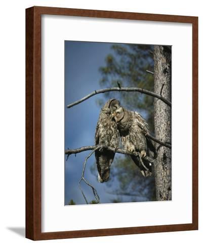 A Pair of Great Gray Owls Preening-Michael S^ Quinton-Framed Art Print
