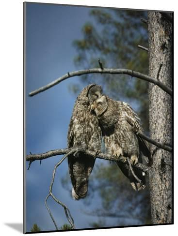 A Pair of Great Gray Owls Preening-Michael S^ Quinton-Mounted Photographic Print
