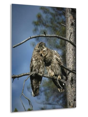A Pair of Great Gray Owls Preening-Michael S^ Quinton-Metal Print