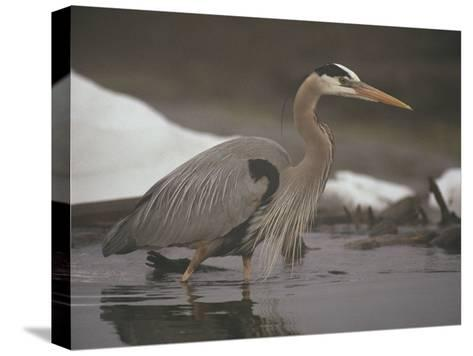 Close View of a Great Blue Heron Searching the Shallows for Food-Michael S^ Quinton-Stretched Canvas Print