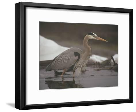 Close View of a Great Blue Heron Searching the Shallows for Food-Michael S^ Quinton-Framed Art Print